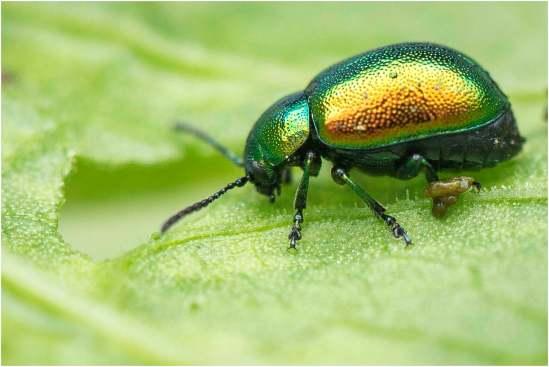 Het groen zuringhaantje (Gastrophysa viridula)