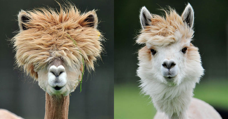 25 Alpacas With The Most Amazing Hair Ever TwistedSifter