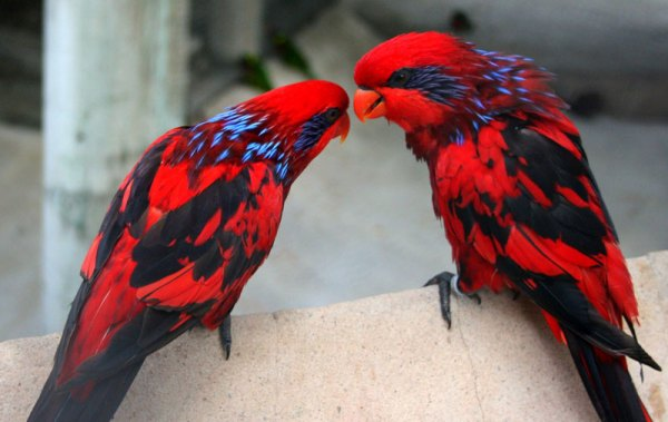 Picture of the Day: Blue-Streaked Lories «TwistedSifter