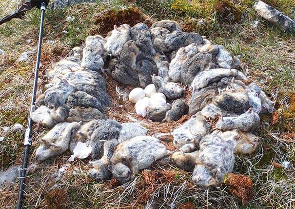 Эта занятая сова убила 70 + леммингов и окружила его гнездо своими свежими трупами