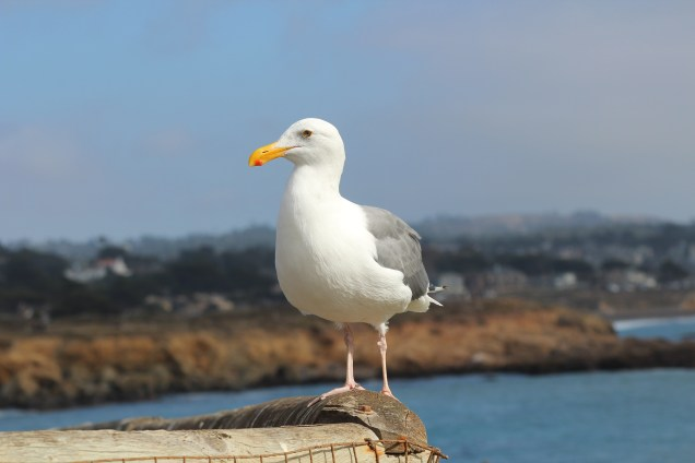Jonathan Livingston Seagull, in the flesh and feathers...