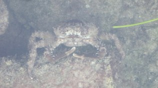 Rock Crab (I can only assume, coming from the land of Dungeness Crab).