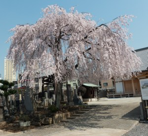 A Weeping Cherry Blossom Tree.  This picture doesn't do it justice.
