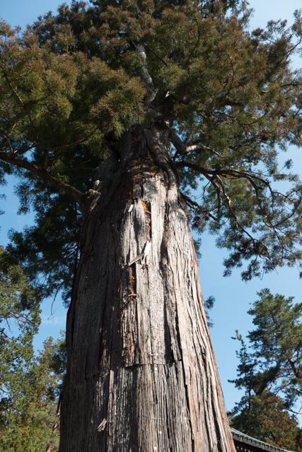 Soaring cedar trees abound
