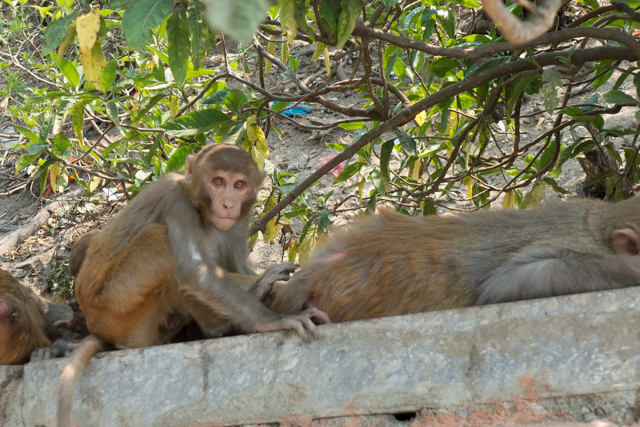 "Swayambhunath Hill is also known as ""Monkey Temple"" because of the large monkey population that resides on the premises."