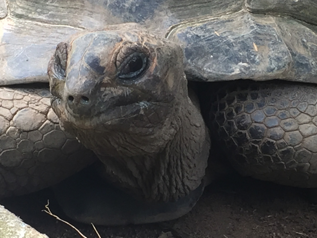 With an average lifespan of 100 years or more, the Aldabra giant tortoises can weigh as much as 900 lbs and can grow to be 4 ft long.