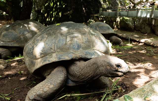 The Aldabra giant tortoise is primarily found inhabiting grasslands and swamps on the islands of the Aldabra atoll, which forms part of the Seychelles island chain in the Indian Ocean. They once shared these islands with a number of other giant tortoise species, but many of these were hunted to extinction in the 1700s and 1800s.