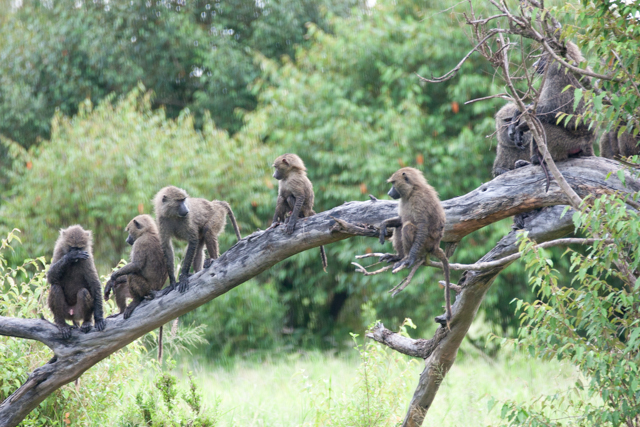 Troup of baboons.