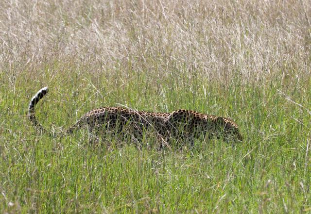 A gorgeous leopard slinking through the savannah.