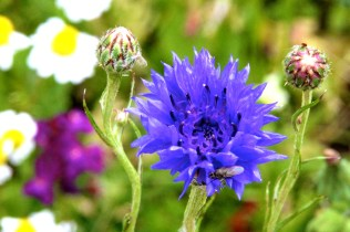 Blue wildflower. Name anyone?
