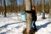 Glen squeezing the maple tree to extract sugar water
