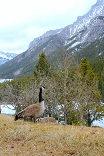 Canadian Goose in the Canadian Rockies