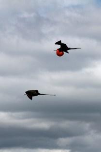 Male frigates in flight