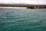 A flock of blue-footed boobies