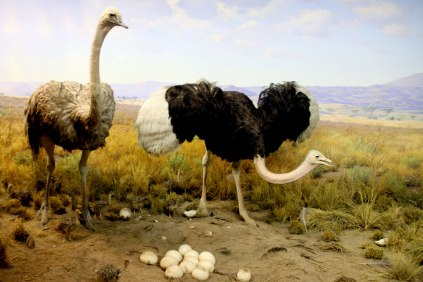 Ostrich!