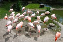 More flamingoes