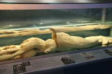 This Giant Squid washed up dead on the shores of Newfoundland.