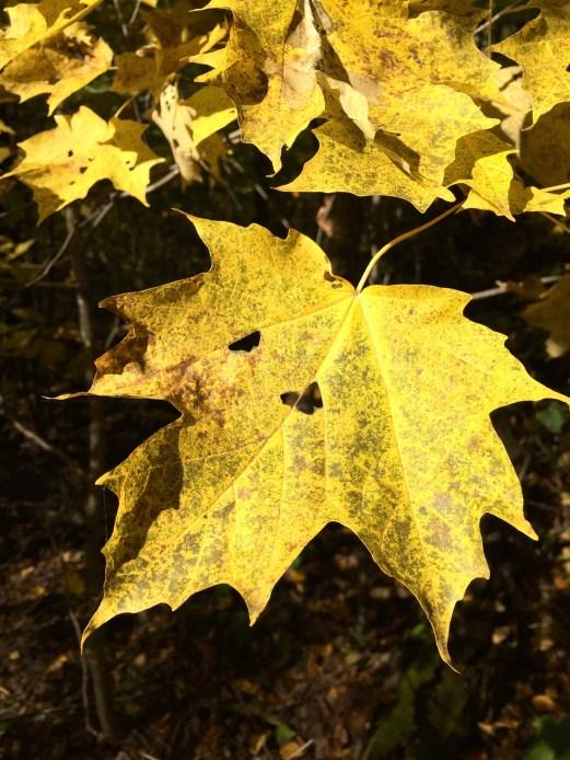 A yellow leaf