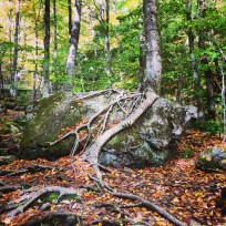 Trees reclaiming rocks