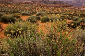 Desert shrub