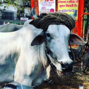 The latest in cow headwear