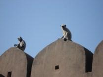 Como em todos os lugares na ìndia, macacos andam em bandos e soltos