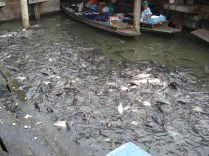 Como tem a carne ruim, ninguém pesca e até alimentam os peixes