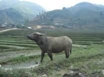 Búfalo posando para minha foto. São usados para arar os terraços