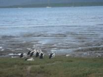 Pelicanos moradores fixos da praia (???!!!) de Cairns