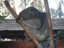 O coala mais idoso com cifose e escoliose