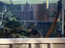 O mesmo coala fazendo pose