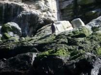 Esse é um pinguim de Humboldt mesmo olhando para lá