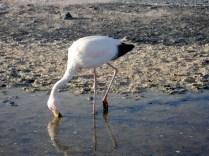 Flamingo de James de cor salmão e que usa o bico para achar o alimento