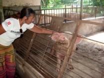 Liceu Agrícola vendo um querido enorme porco