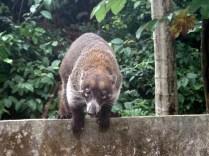 Outro hóspede da casa da Alma: os quatis que viviam visitando o quintal dela