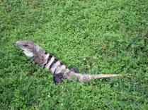 Iguana com rabo e espinha preta. Ficam passeando