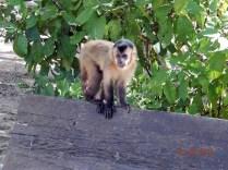 Macacos prego que ficam pelo local