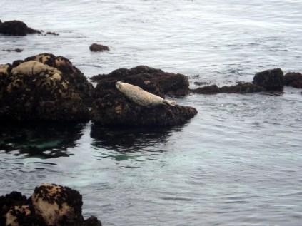 As focas usam as rochas e praias para descansar e brincar