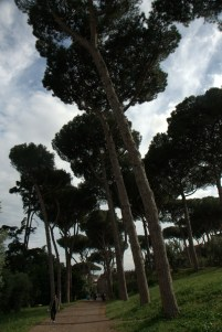 Umbrella pines on Palatine Hill