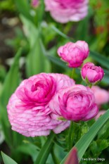 Rununculus blooms, Munic