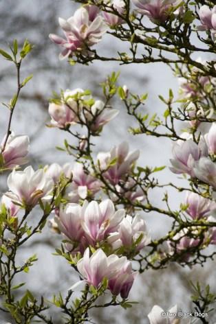 Magnolias, Versaille