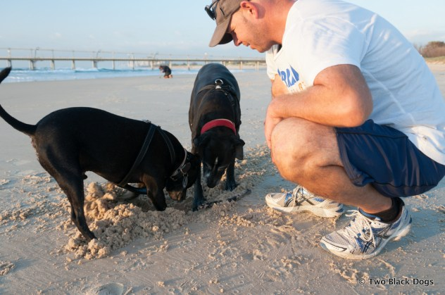 Dogs digging in sand