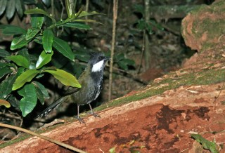 Eastern Whipbird, O'Reilly's Rainforest Retreat
