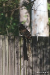 A brave Pheasant Coucal