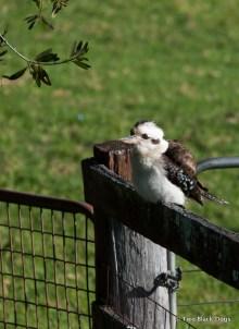 Kookaburra sitting on a fence