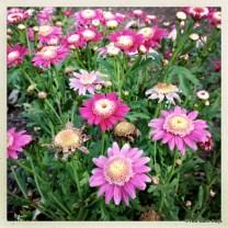 Daisy - Argyranthemum frutescens