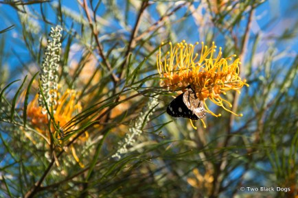 Butterfly and Grevillea