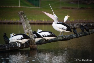 Pelicans take refuge in the suburbs