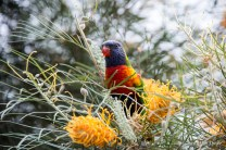 Rainbow Lorikeet feasting on a Grevillea flower