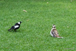 Kookaburra and Magpie in conflict over a morsel of food